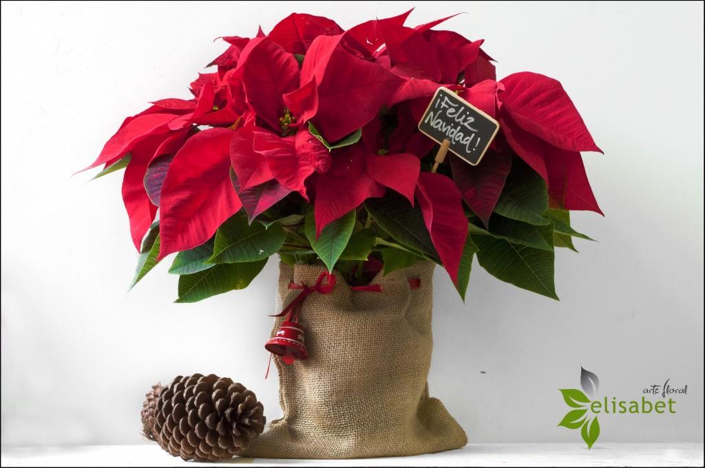 Flor de Pascua Feliz Navidad