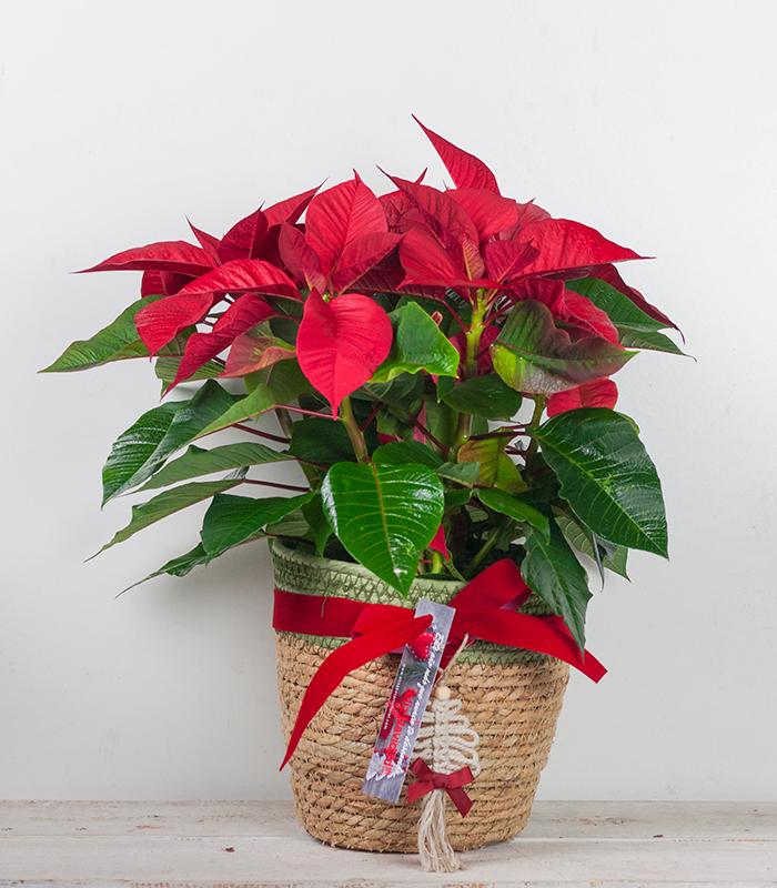 Flor de Pacua en cesta